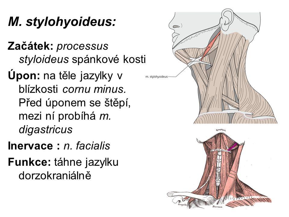 M. stylohyoideus: Začátek: processus styloideus spánkové kosti Úpon: na těle jazylky v blízkosti cornu minus. Před úponem se štěpí, mezi ní probíhá m.