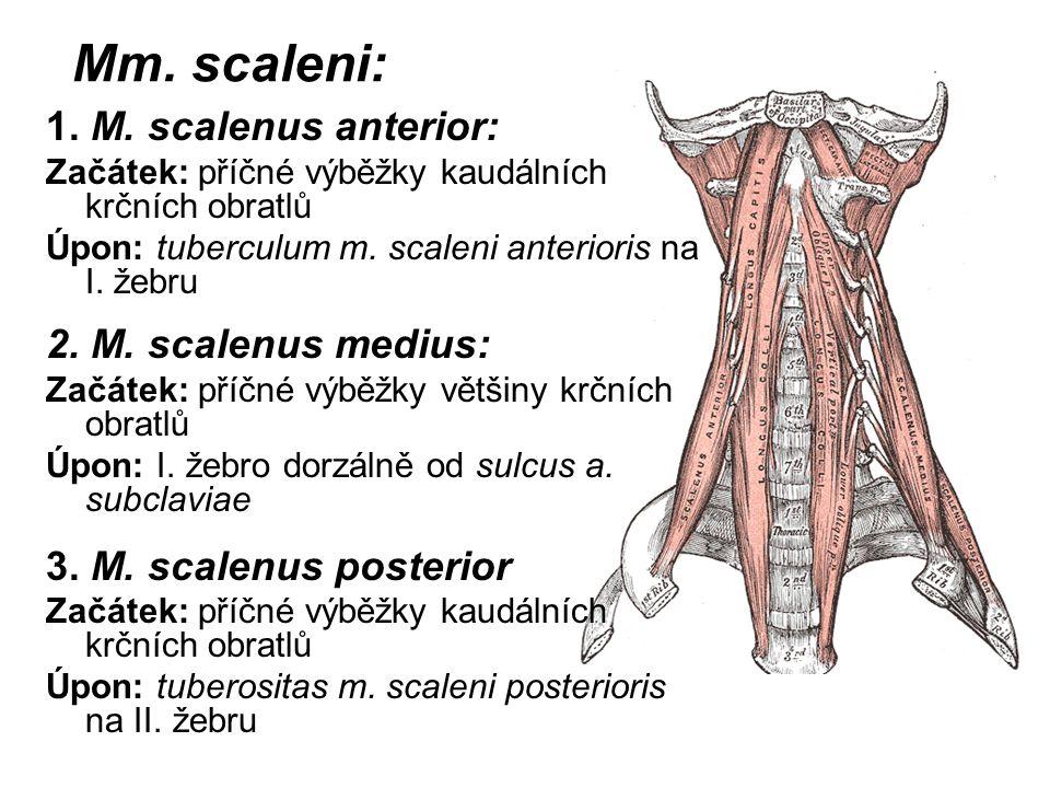 Mm. scaleni: 1. M. scalenus anterior: Začátek: příčné výběžky kaudálních krčních obratlů Úpon: tuberculum m. scaleni anterioris na I. žebru 2. M. scal