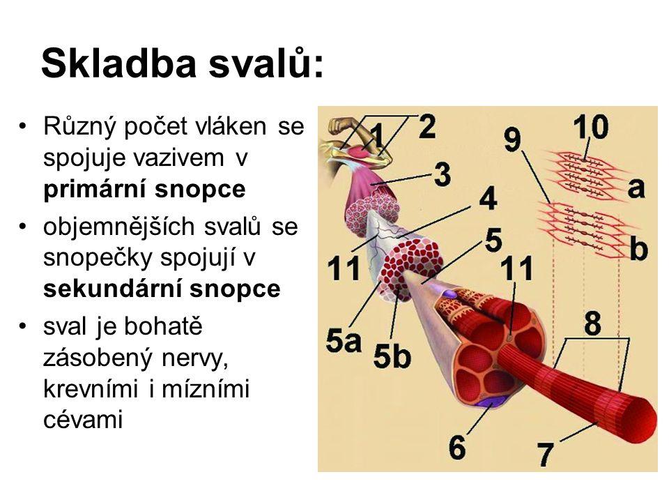 3.M. abductor digiti minimi: Začátek: tuber calcanei (processus lateralis) Úpon: od báze V.