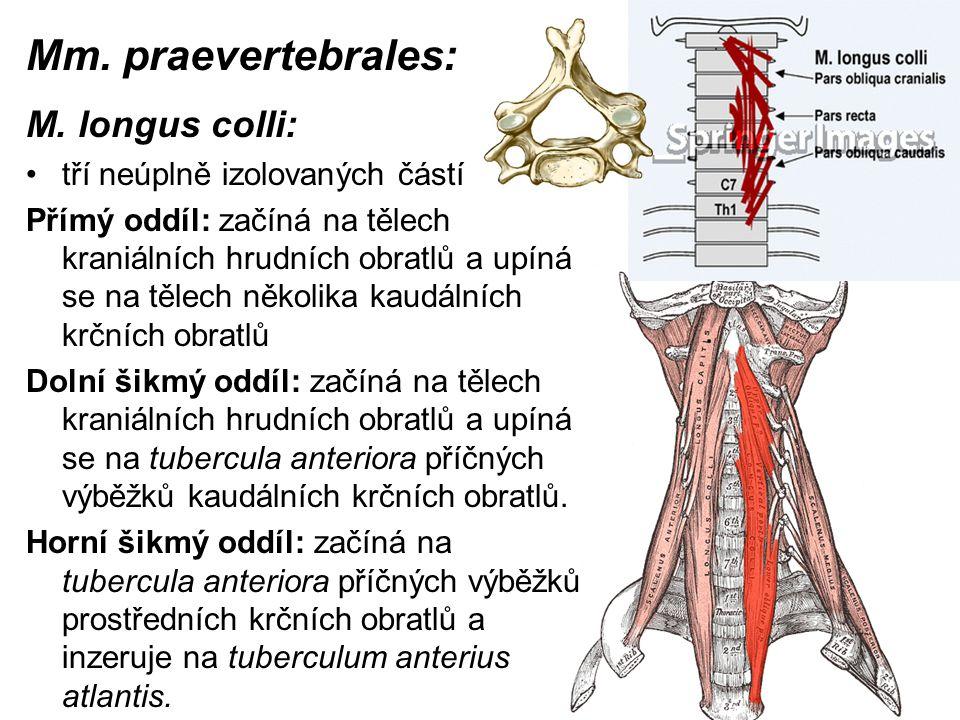 Mm. praevertebrales: M. longus colli: tří neúplně izolovaných částí Přímý oddíl: začíná na tělech kraniálních hrudních obratlů a upíná se na tělech ně