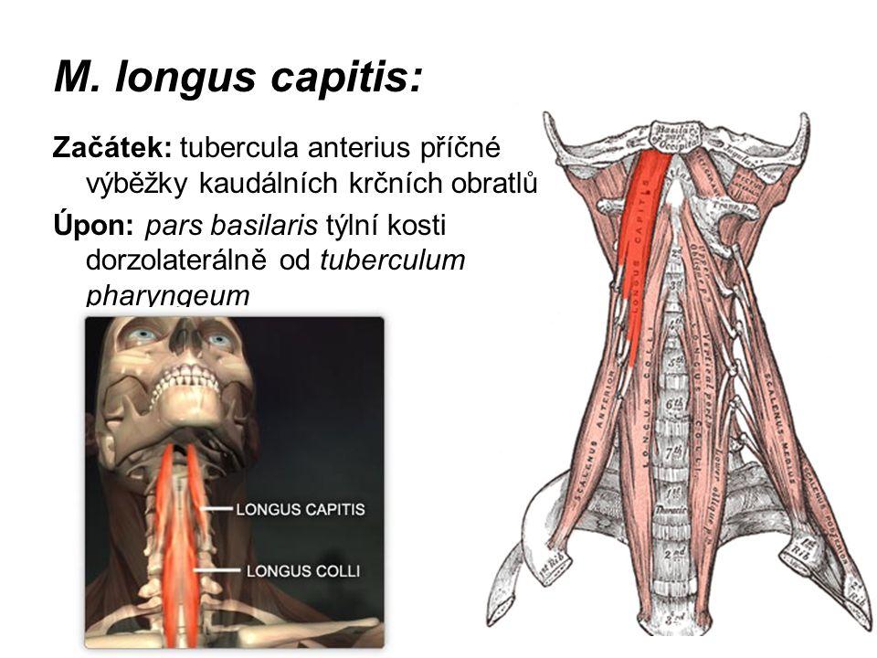 M. longus capitis: Začátek: tubercula anterius příčné výběžky kaudálních krčních obratlů Úpon: pars basilaris týlní kosti dorzolaterálně od tuberculum