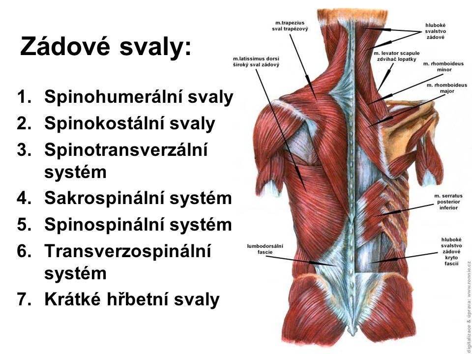 Zádové svaly: 1.Spinohumerální svaly 2.Spinokostální svaly 3.Spinotransverzální systém 4.Sakrospinální systém 5.Spinospinální systém 6.Transverzospiná