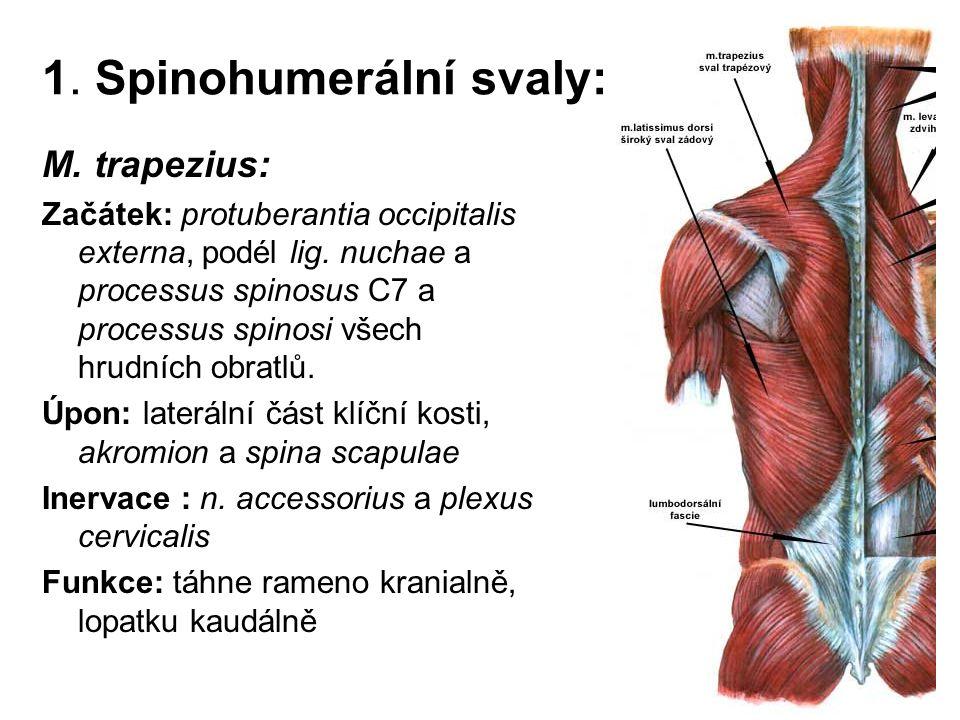 1. Spinohumerální svaly: M. trapezius: Začátek: protuberantia occipitalis externa, podél lig. nuchae a processus spinosus C7 a processus spinosi všech