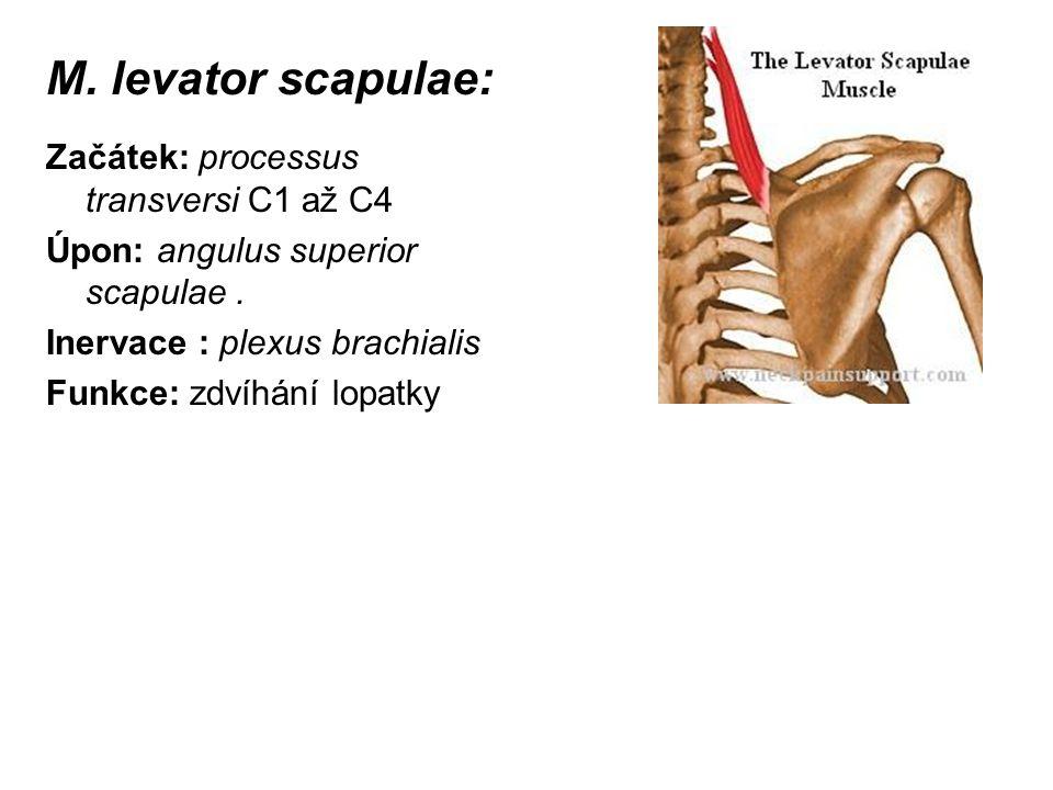 M. levator scapulae: Začátek: processus transversi C1 až C4 Úpon: angulus superior scapulae. Inervace : plexus brachialis Funkce: zdvíhání lopatky