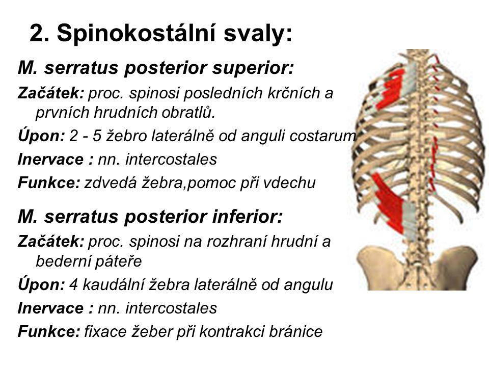 2. Spinokostální svaly: M. serratus posterior superior: Začátek: proc. spinosi posledních krčních a prvních hrudních obratlů. Úpon: 2 - 5 žebro laterá