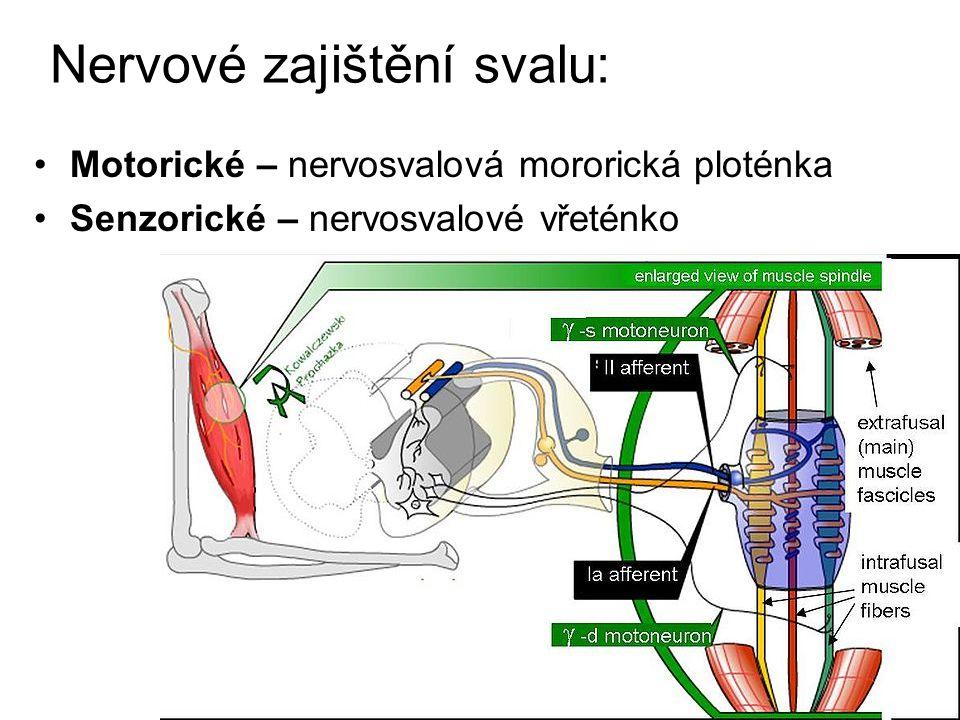 Nervové zajištění svalu: Motorické – nervosvalová mororická ploténka Senzorické – nervosvalové vřeténko