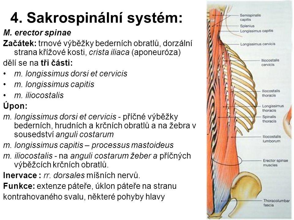 4. Sakrospinální systém: M. erector spinae Začátek: trnové výběžky bederních obratlů, dorzální strana křížové kosti, crista iliaca (aponeuróza) dělí s