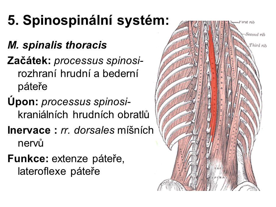 5. Spinospinální systém: M. spinalis thoracis Začátek: processus spinosi- rozhraní hrudní a bederní páteře Úpon: processus spinosi- kraniálních hrudní