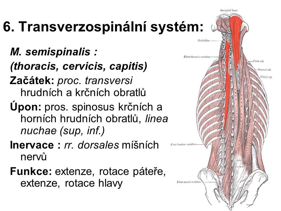 6. Transverzospinální systém: M. semispinalis : (thoracis, cervicis, capitis) Začátek: proc. transversi hrudních a krčních obratlů Úpon: pros. spinosu