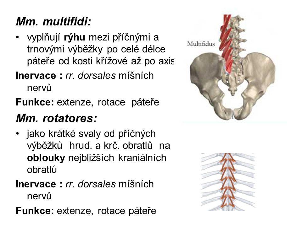 Mm. multifidi: vyplňují rýhu mezi příčnými a trnovými výběžky po celé délce páteře od kosti křížové až po axis Inervace : rr. dorsales míšních nervů F