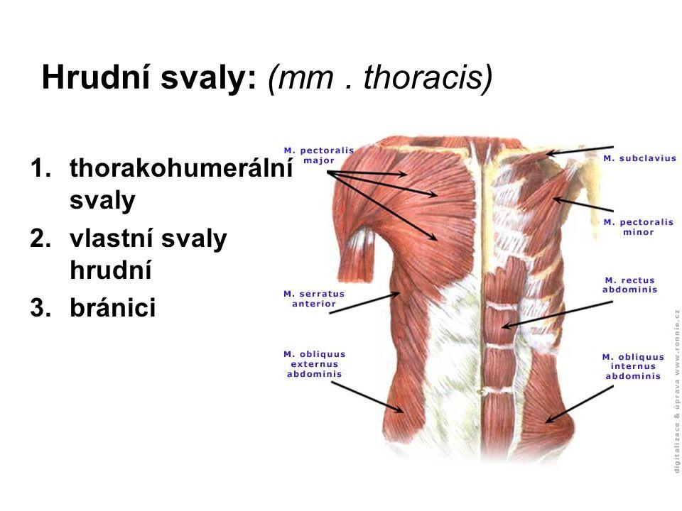 Hrudní svaly: (mm. thoracis) 1.thorakohumerální svaly 2.vlastní svaly hrudní 3.bránici