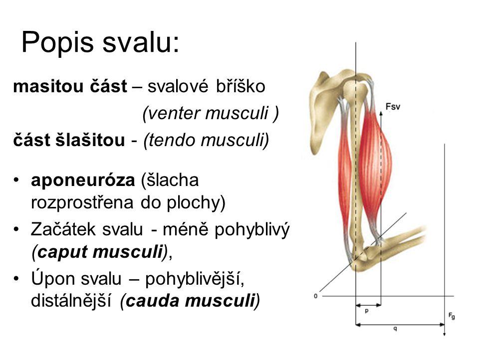 Funkce svalů: dva typy svalového stahu: Izotonická kontrakce, při které se mění délka svalu (například při zvedání břemene).