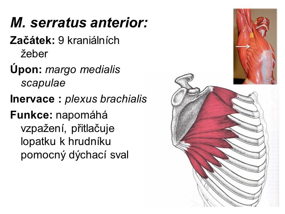 M. serratus anterior: Začátek: 9 kraniálních žeber Úpon: margo medialis scapulae Inervace : plexus brachialis Funkce: napomáhá vzpažení, přitlačuje lo