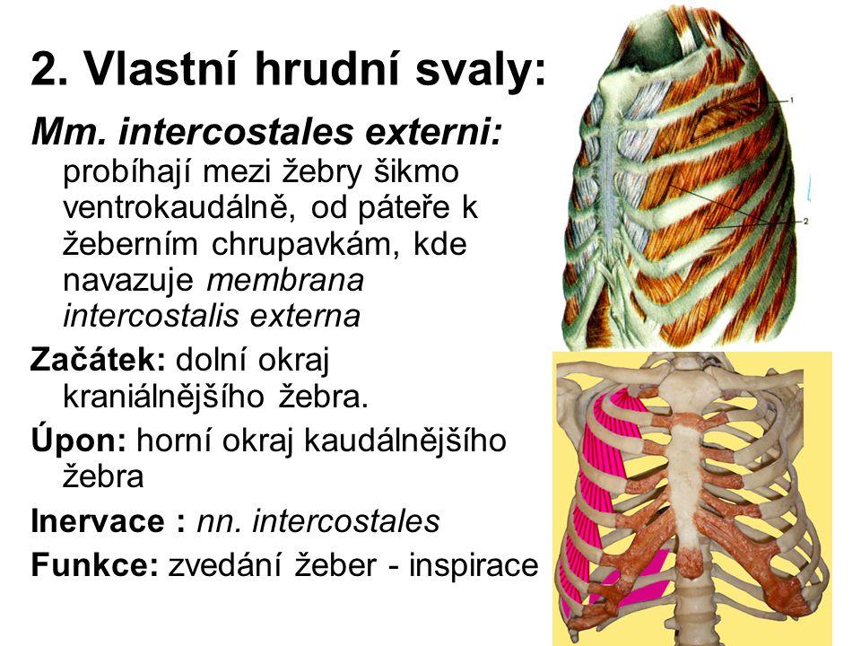 2. Vlastní hrudní svaly: Mm. intercostales externi: probíhají mezi žebry šikmo ventrokaudálně, od páteře k žeberním chrupavkám, kde navazuje membrana