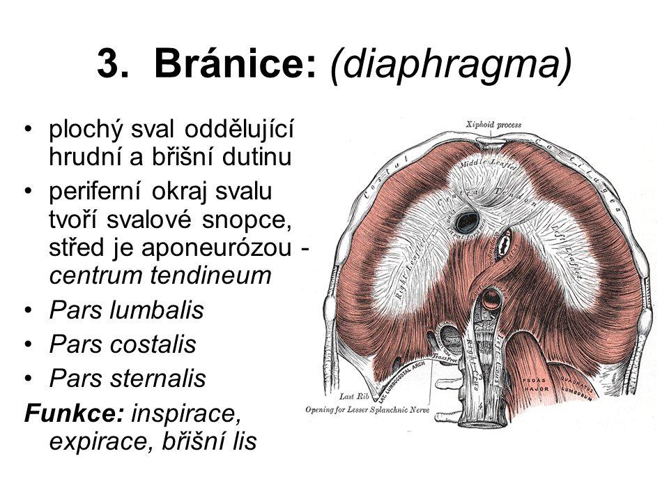 3. Bránice: (diaphragma) plochý sval oddělující hrudní a břišní dutinu periferní okraj svalu tvoří svalové snopce, střed je aponeurózou - centrum tend