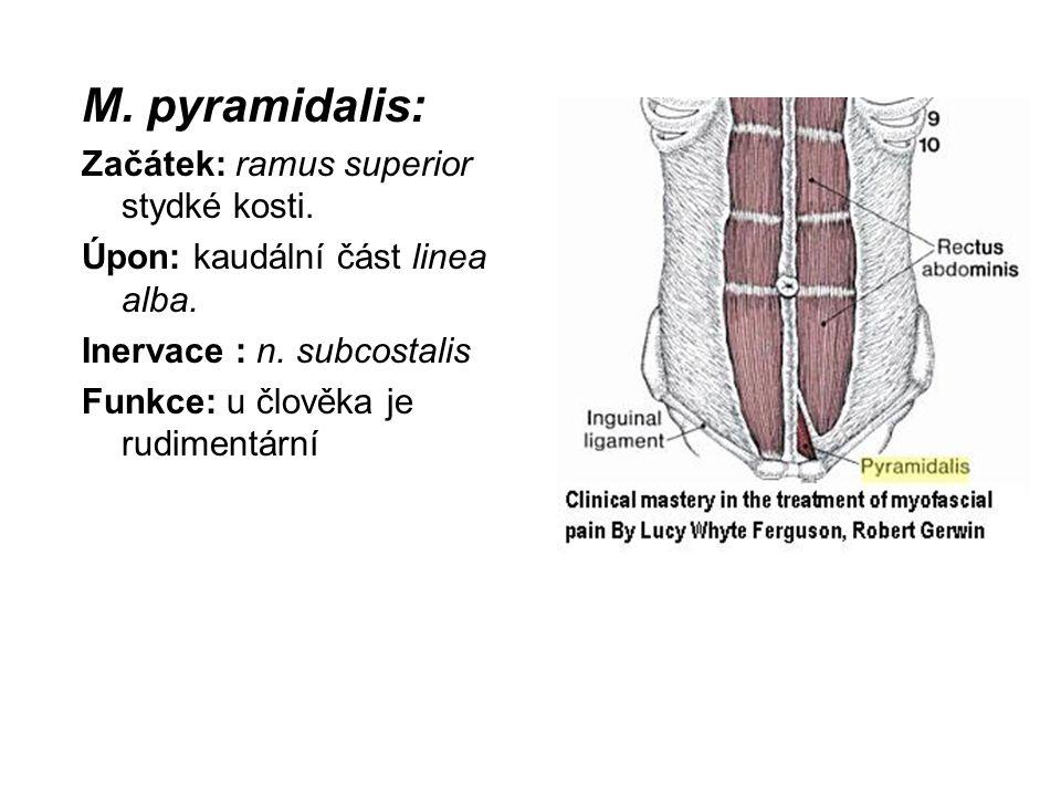 M. pyramidalis: Začátek: ramus superior stydké kosti. Úpon: kaudální část linea alba. Inervace : n. subcostalis Funkce: u člověka je rudimentární