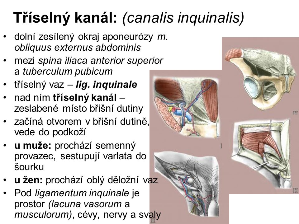Tříselný kanál: (canalis inquinalis) dolní zesílený okraj aponeurózy m. obliquus externus abdominis mezi spina iliaca anterior superior a tuberculum p