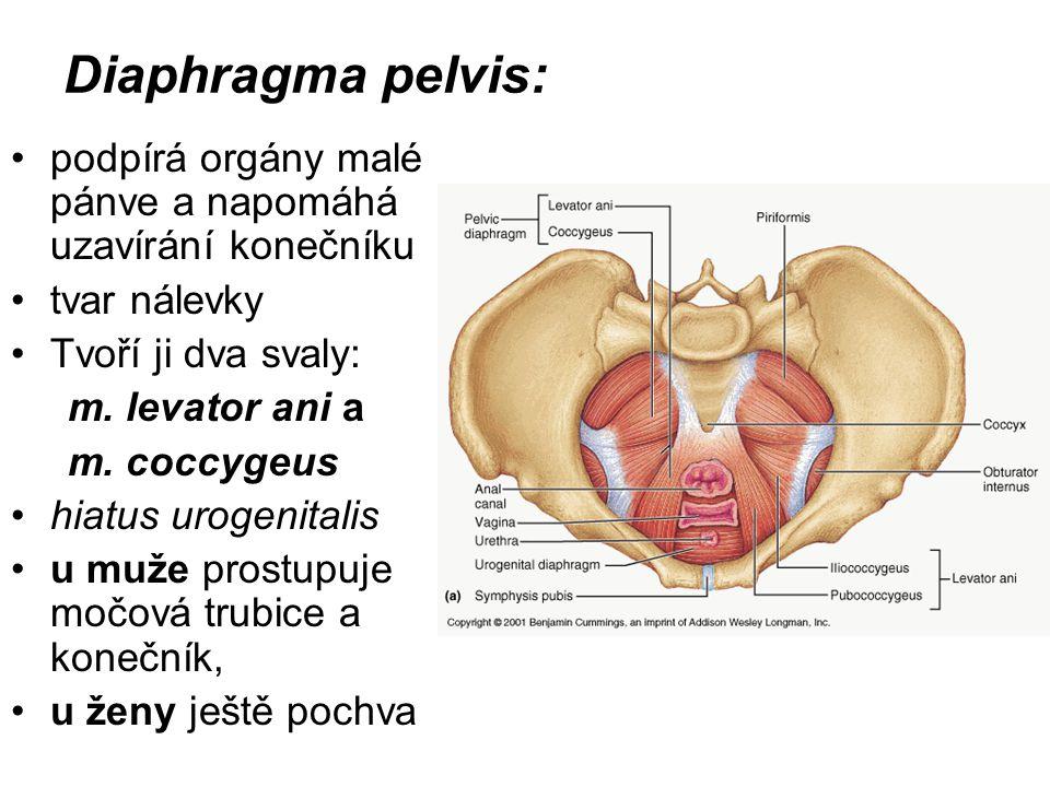 Diaphragma pelvis: podpírá orgány malé pánve a napomáhá uzavírání konečníku tvar nálevky Tvoří ji dva svaly: m. levator ani a m. coccygeus hiatus urog