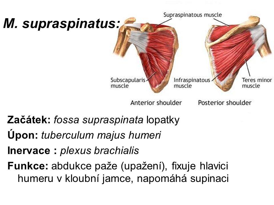 M. supraspinatus: Začátek: fossa supraspinata lopatky Úpon: tuberculum majus humeri Inervace : plexus brachialis Funkce: abdukce paže (upažení), fixuj