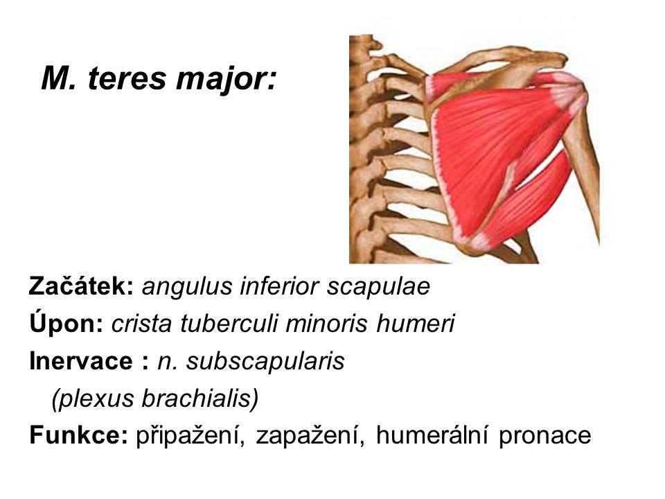 M. teres major: Začátek: angulus inferior scapulae Úpon: crista tuberculi minoris humeri Inervace : n. subscapularis (plexus brachialis) Funkce: připa