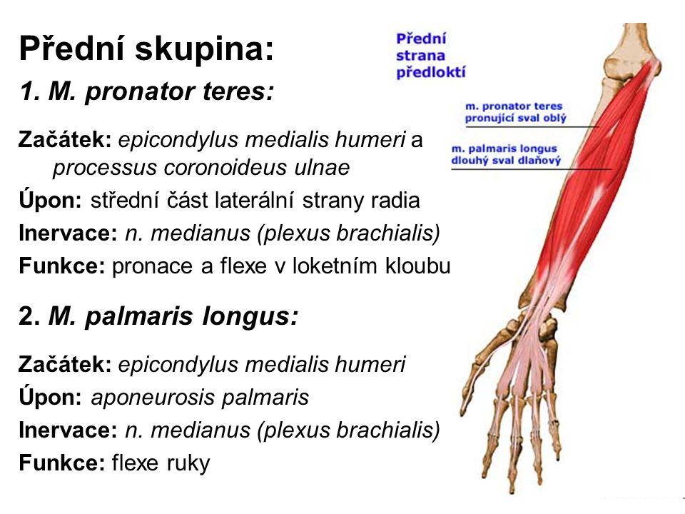 Přední skupina: 1. M. pronator teres: Začátek: epicondylus medialis humeri a processus coronoideus ulnae Úpon: střední část laterální strany radia Ine