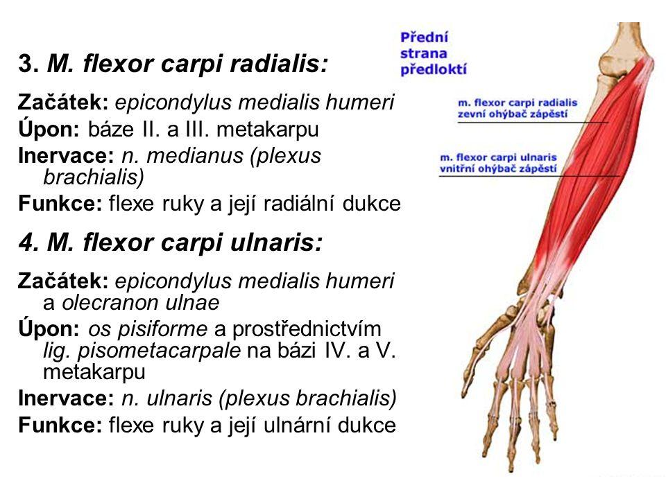 3. M. flexor carpi radialis: Začátek: epicondylus medialis humeri Úpon: báze II. a III. metakarpu Inervace: n. medianus (plexus brachialis) Funkce: fl