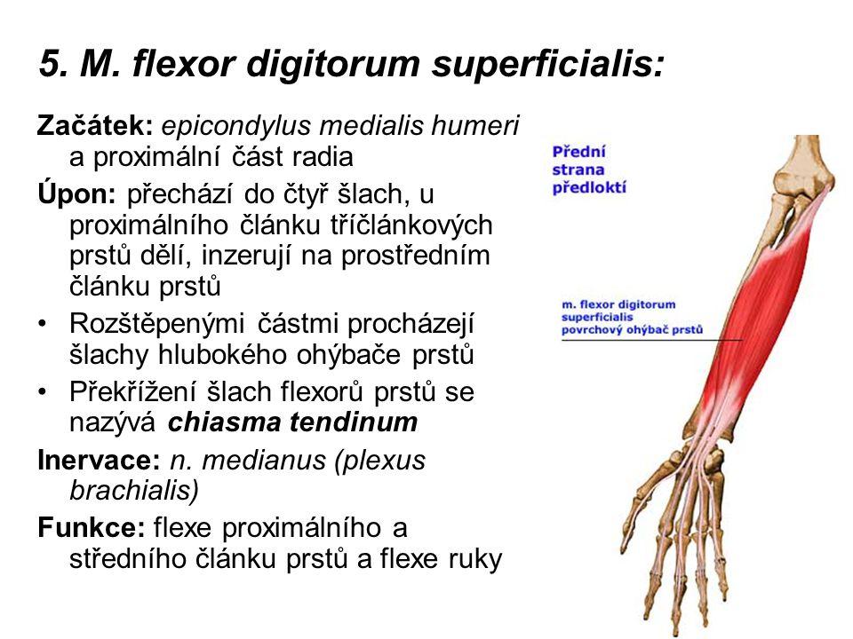 5. M. flexor digitorum superficialis: Začátek: epicondylus medialis humeri a proximální část radia Úpon: přechází do čtyř šlach, u proximálního článku