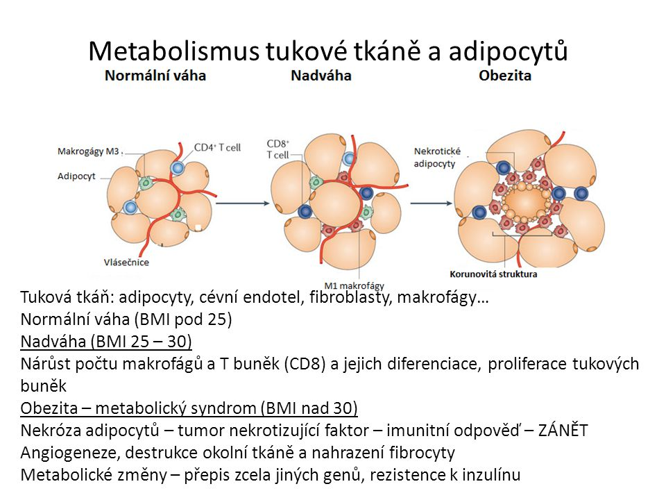 Metabolismus tukové tkáně a adipocytů Tuková tkáň: adipocyty, cévní endotel, fibroblasty, makrofágy… Normální váha (BMI pod 25) Nadváha (BMI 25 – 30) Nárůst počtu makrofágů a T buněk (CD8) a jejich diferenciace, proliferace tukových buněk Obezita – metabolický syndrom (BMI nad 30) Nekróza adipocytů – tumor nekrotizující faktor – imunitní odpověď – ZÁNĚT Angiogeneze, destrukce okolní tkáně a nahrazení fibrocyty Metabolické změny – přepis zcela jiných genů, rezistence k inzulínu