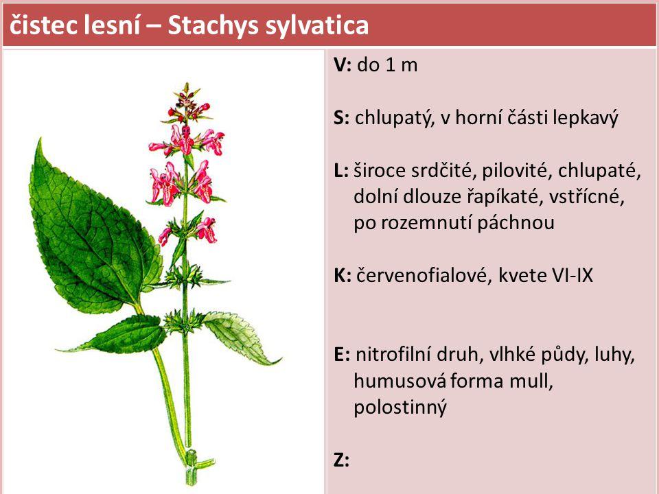 čistec lesní – Stachys sylvatica V: do 1 m S: chlupatý, v horní části lepkavý L: široce srdčité, pilovité, chlupaté, dolní dlouze řapíkaté, vstřícné,