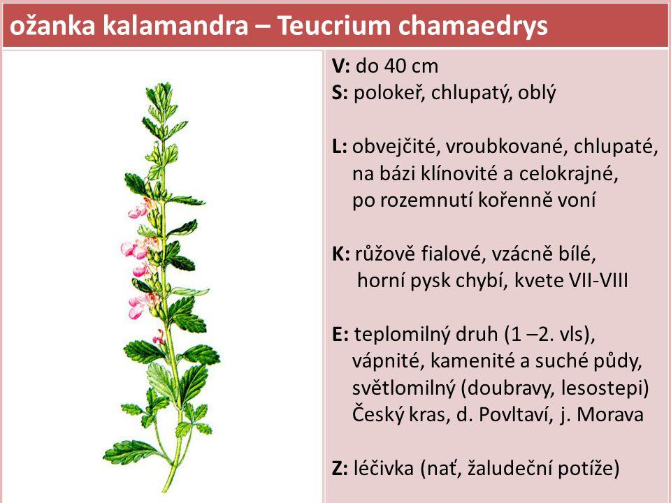 ožanka kalamandra – Teucrium chamaedrys V: do 40 cm S: polokeř, chlupatý, oblý L: obvejčité, vroubkované, chlupaté, na bázi klínovité a celokrajné, po