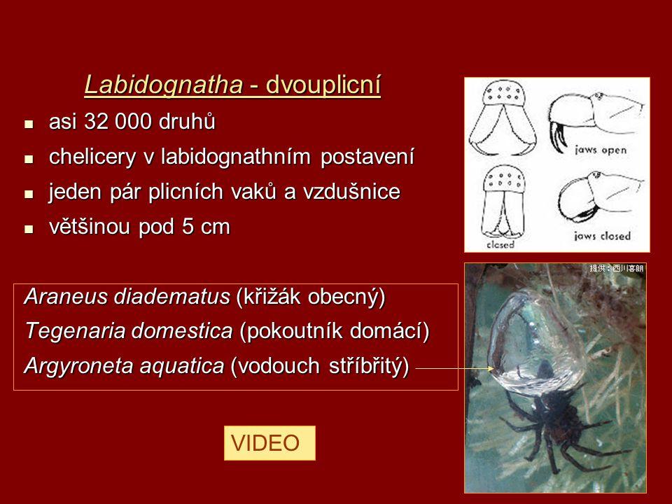Labidognatha - dvouplicní asi 32 000 druhů asi 32 000 druhů chelicery v labidognathním postavení chelicery v labidognathním postavení jeden pár plicní
