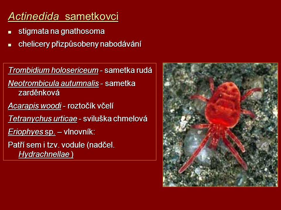 Actinedida sametkovci stigmata na gnathosoma stigmata na gnathosoma chelicery přizpůsobeny nabodávání chelicery přizpůsobeny nabodávání Trombidium hol