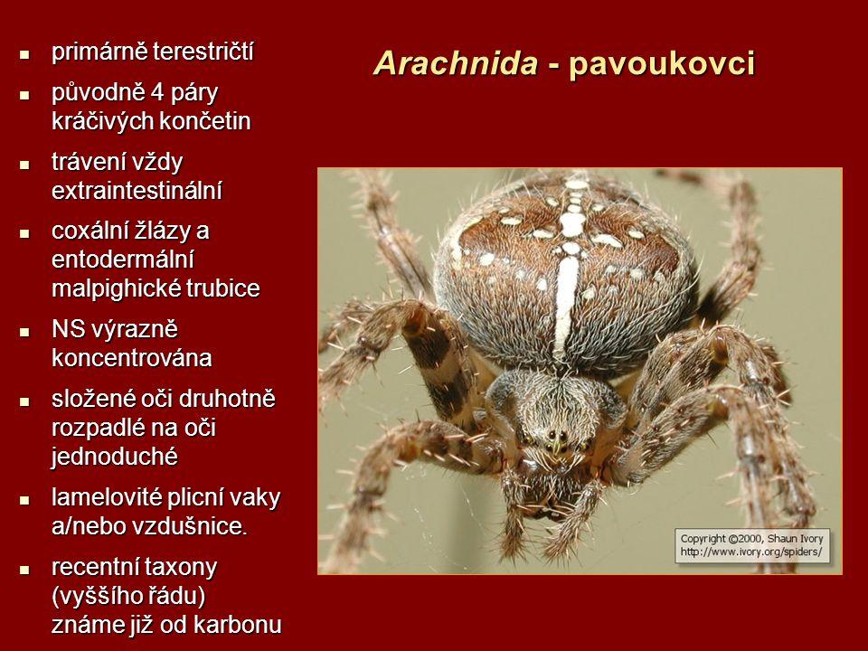 Arachnida - pavoukovci primárně terestričtí primárně terestričtí původně 4 páry kráčivých končetin původně 4 páry kráčivých končetin trávení vždy extr
