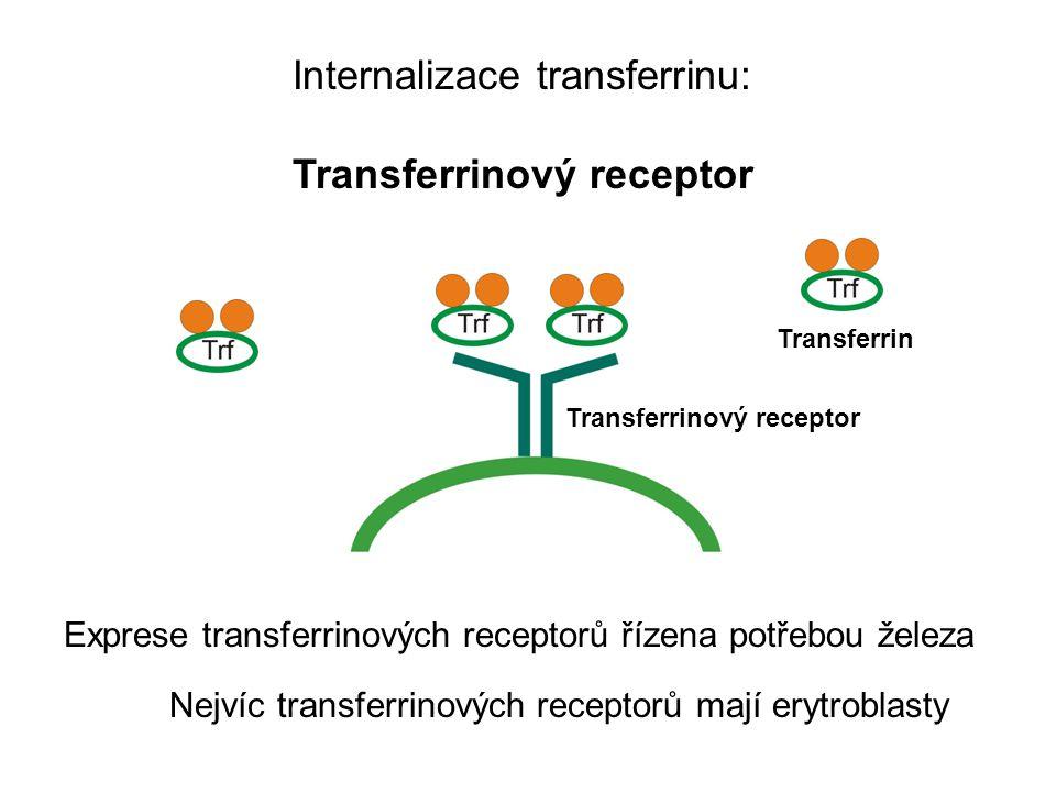 Internalizace transferrinu: Transferrinový receptor Transferrin Transferrinový receptor Exprese transferrinových receptorů řízena potřebou železa Nejvíc transferrinových receptorů mají erytroblasty