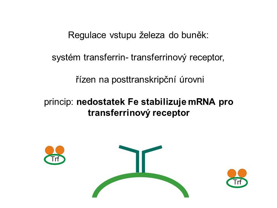 Regulace vstupu železa do buněk: systém transferrin- transferrinový receptor, řízen na posttranskripční úrovni princip: nedostatek Fe stabilizuje mRNA pro transferrinový receptor