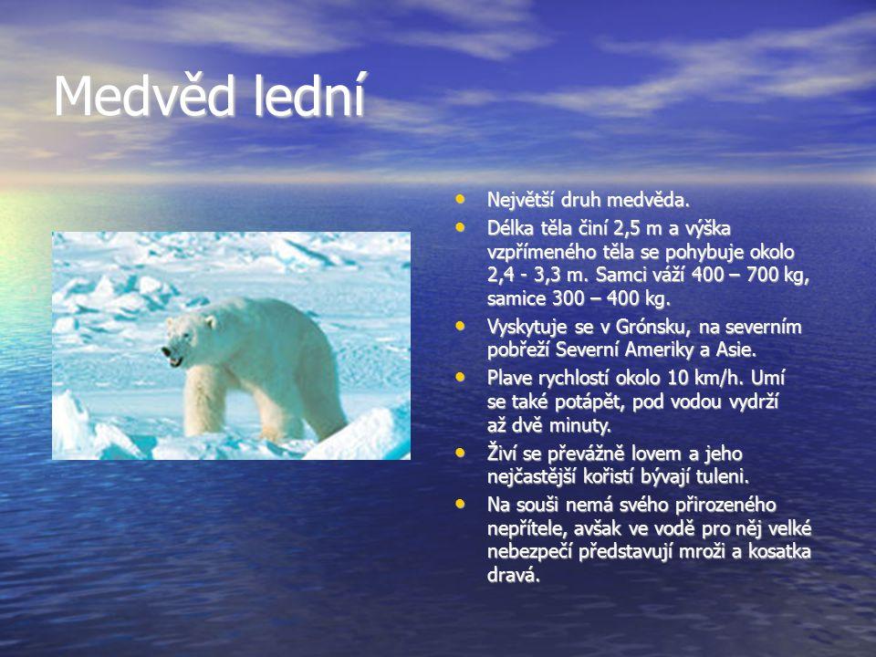 Medvěd lední Největší druh medvěda.Největší druh medvěda.