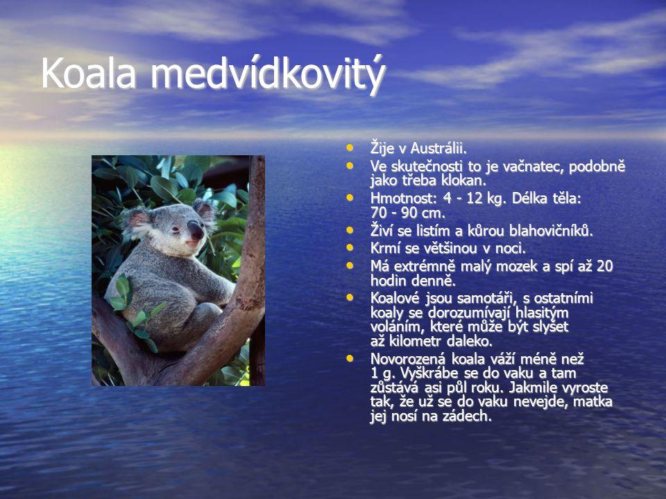 Koala medvídkovitý Žije v Austrálii.Žije v Austrálii.