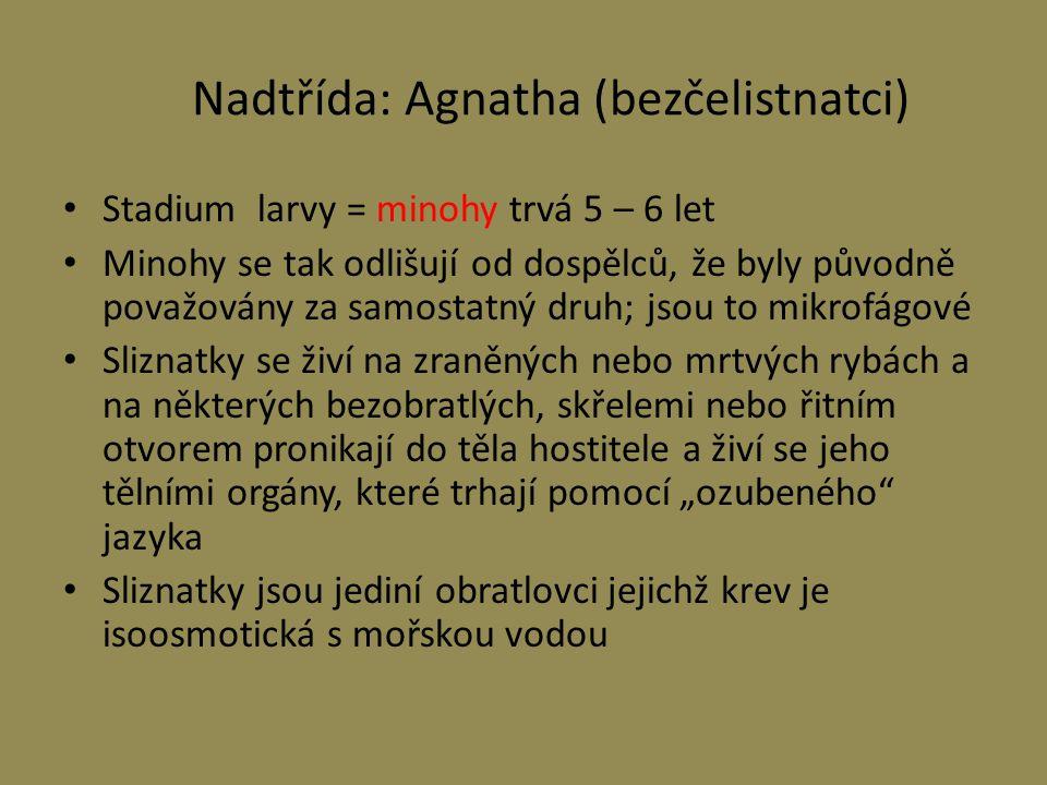 Nadtřída: Agnatha (bezčelistnatci) Stadium larvy = minohy trvá 5 – 6 let Minohy se tak odlišují od dospělců, že byly původně považovány za samostatný