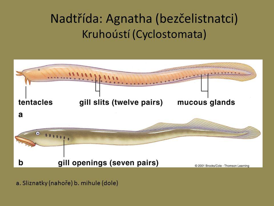 Nadtřída: Agnatha (bezčelistnatci) Kruhoústí (Cyclostomata) a. Sliznatky (nahoře) b. mihule (dole)