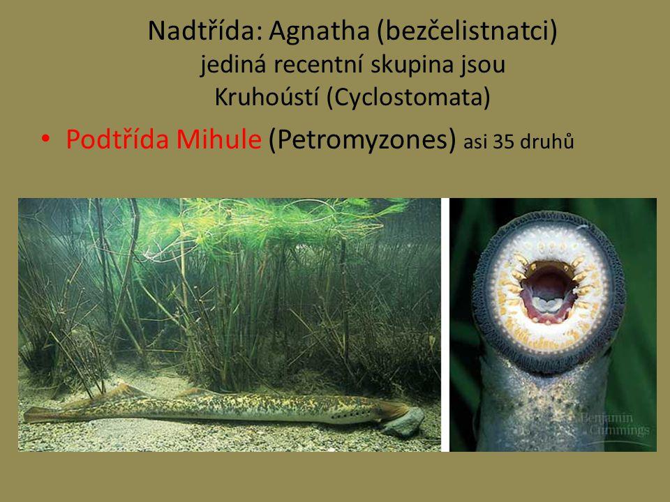 Nadtřída: Agnatha (bezčelistnatci) jediná recentní skupina jsou Kruhoústí (Cyclostomata) Podtřída Mihule (Petromyzones) asi 35 druhů