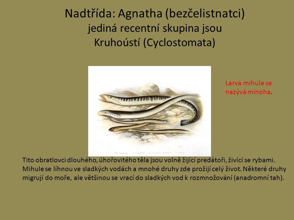 Nadtřída: Agnatha (bezčelistnatci) jediná recentní skupina jsou Kruhoústí (Cyclostomata) Tito obratlovci dlouhého, úhořovitého těla jsou volně žijící