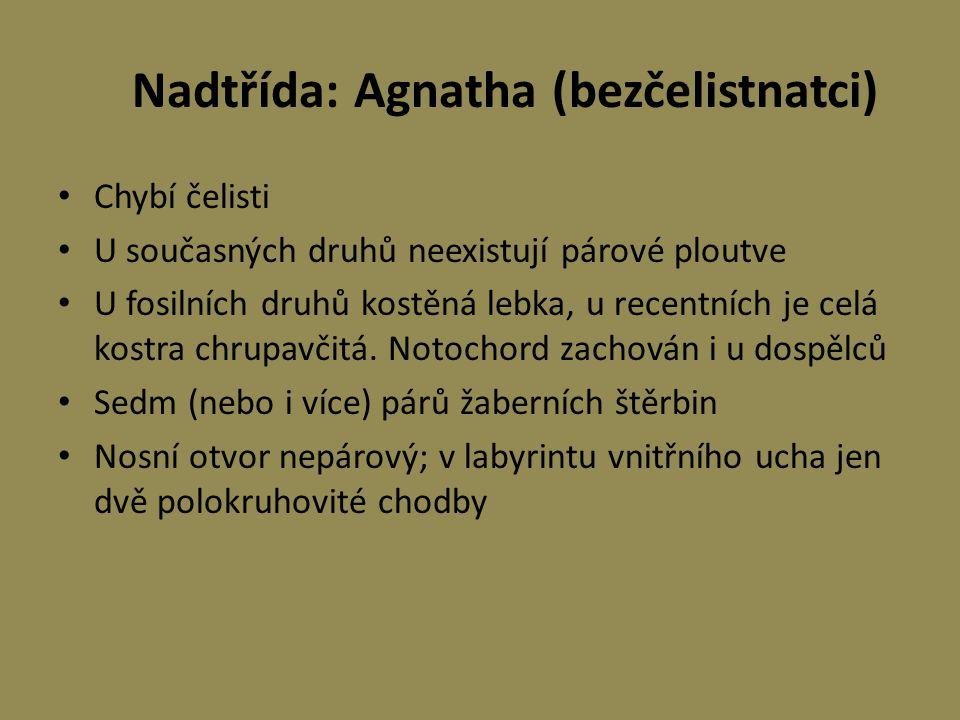 Nadtřída: Agnatha (bezčelistnatci) Chybí čelisti U současných druhů neexistují párové ploutve U fosilních druhů kostěná lebka, u recentních je celá ko