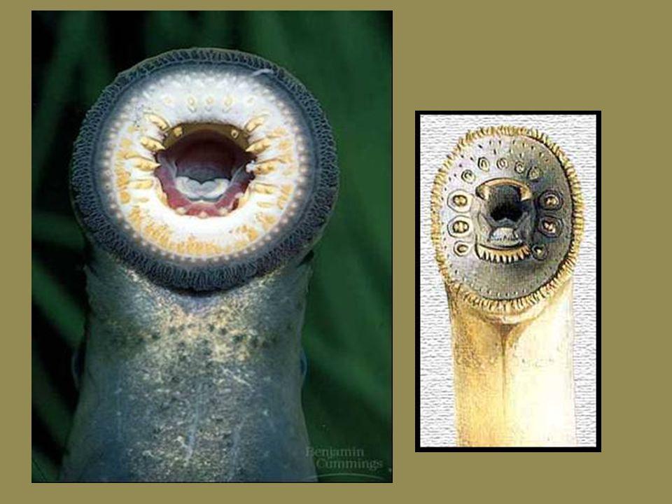 Nadtřída: Agnatha (bezčelistnatci) jediná recentní skupina jsou Kruhoústí (Cyclostomata) Mihule mají přísavkovitá ústa, která postrádají čelisti.