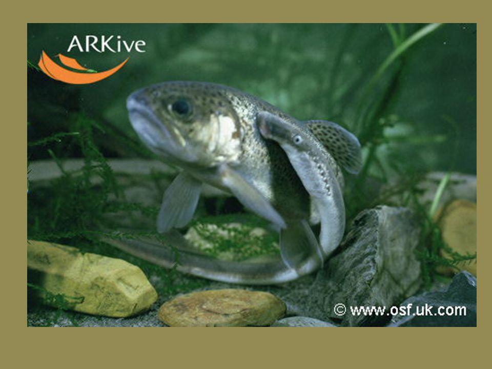 Nadtřída: Agnatha (bezčelistnatci) jediná recentní skupina jsou Kruhoústí (Cyclostomata) Podtřída Sliznatky (Myxini) asi 30 recentních druhů V případě napadení je sliznatka schopna v krátké chvíli vyloučit až několik litrů slizu a tak zaplašit nebo i udusit predátora