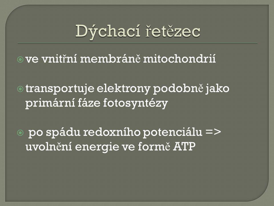  ve vnit ř ní membrán ě mitochondrií  transportuje elektrony podobn ě jako primární fáze fotosyntézy  po spádu redoxního potenciálu => uvoln ě ní energie ve form ě ATP