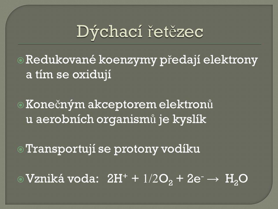  Redukované koenzymy p ř edají elektrony a tím se oxidují  Kone č ným akceptorem elektron ů u aerobních organism ů je kyslík  Transportují se protony vodíku  Vzniká voda: 2H + + 1/2 O 2 + 2e - → H 2 O