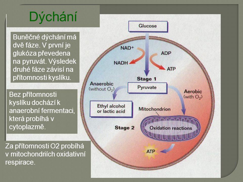Buněčné dýchání má dvě fáze. V první je glukóza převedena na pyruvát.