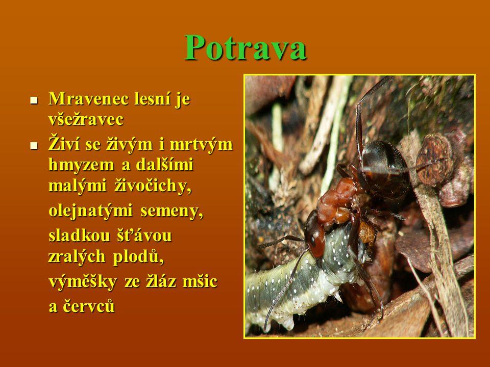 Potrava Mravenec lesní je všežravec Mravenec lesní je všežravec Živí se živým i mrtvým hmyzem a dalšími malými živočichy, Živí se živým i mrtvým hmyze