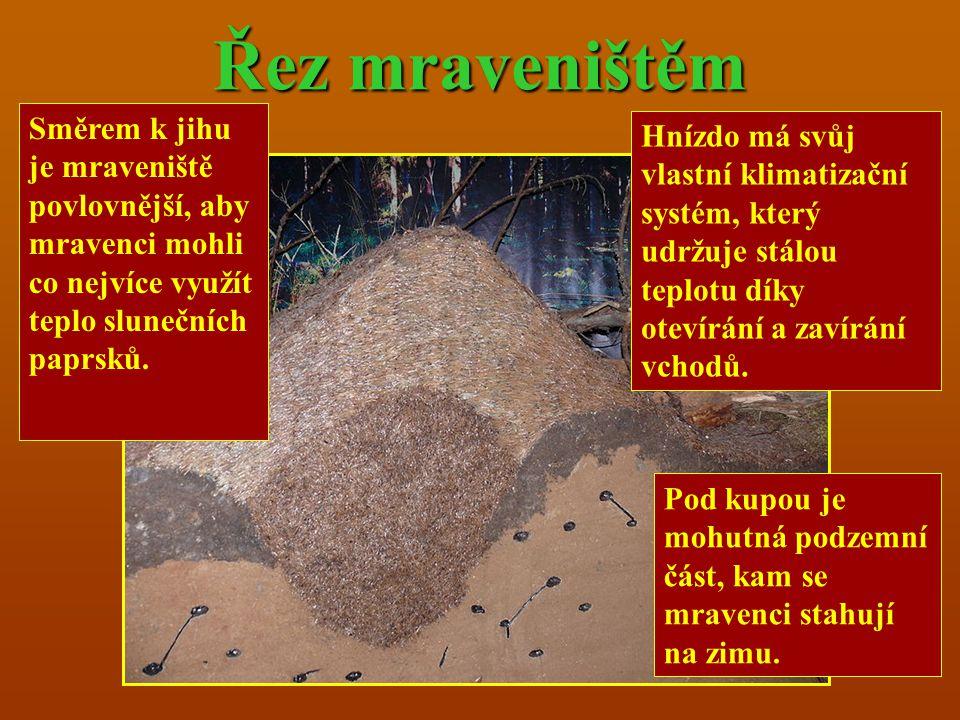 Řez mraveništěm Pod kupou je mohutná podzemní část, kam se mravenci stahují na zimu. Hnízdo má svůj vlastní klimatizační systém, který udržuje stálou