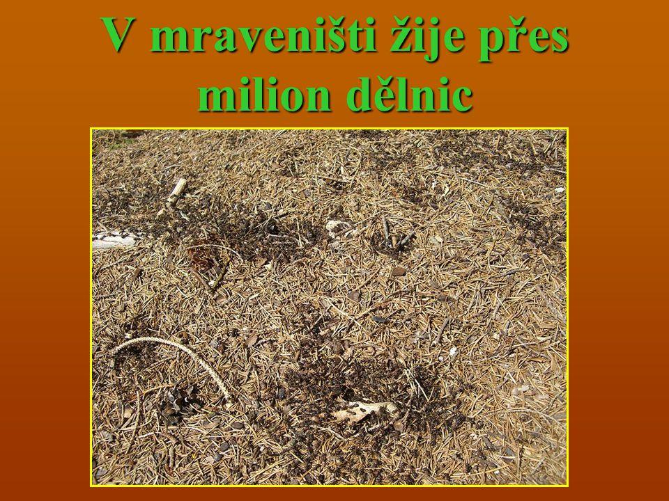 V mraveništi žije přes milion dělnic